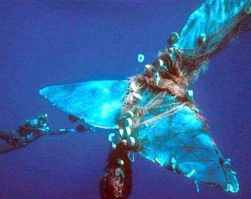 Whale entanglment