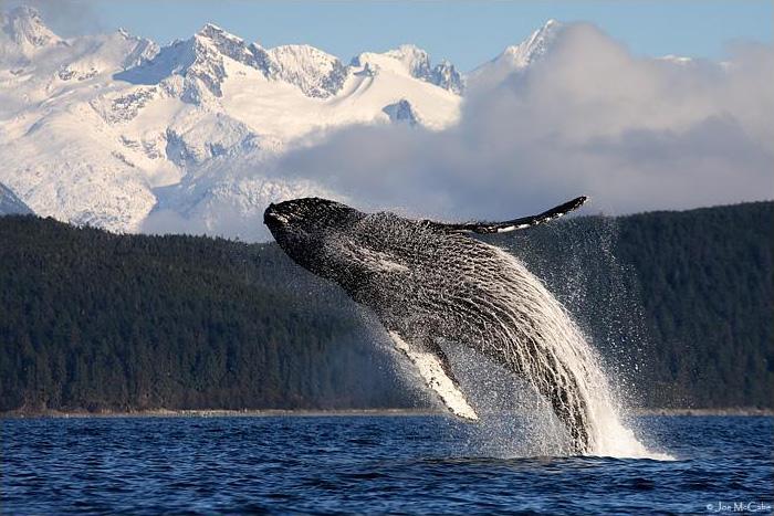 whale-humpback1-700w
