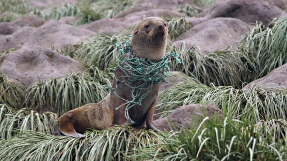 plastic pollution on a seal